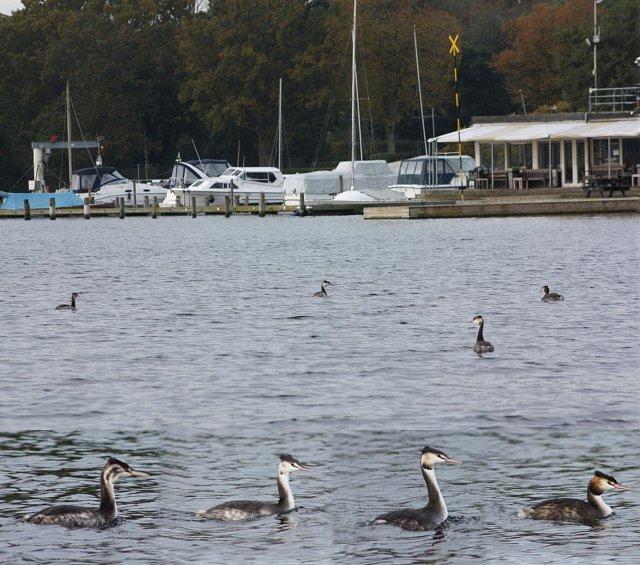 grebes swimming near boat basin