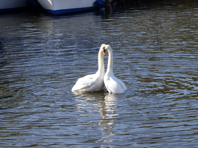 two swan intertwining necks