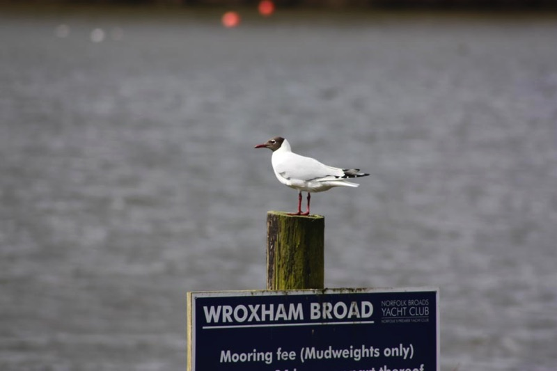 black headed gull standing on Wroxham Broad sign