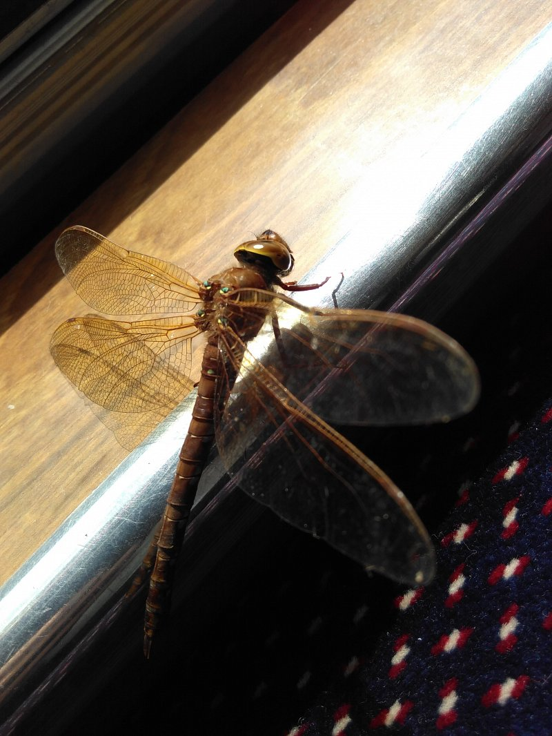 brown hawker dragonfly on rail inside passenger trip boat