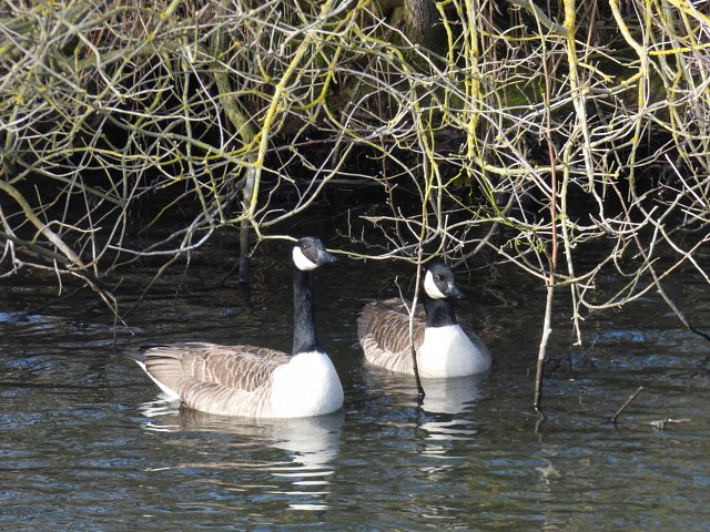two canada geese on water underneath bank overgrowth