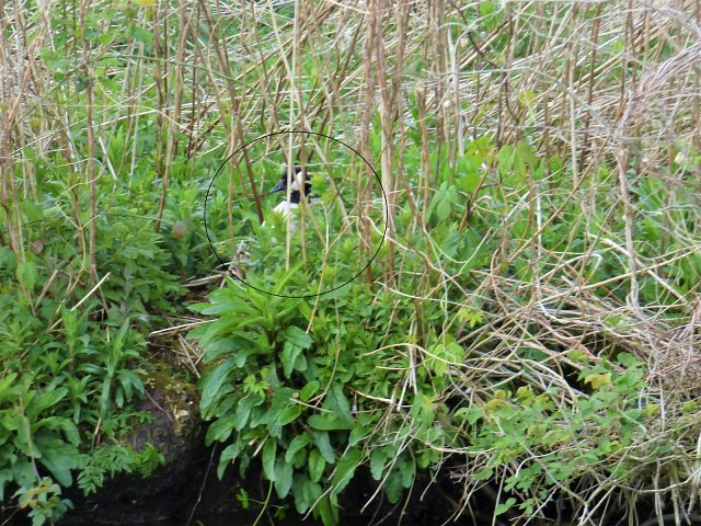 canada goose barely visible in overgrowth of river bank