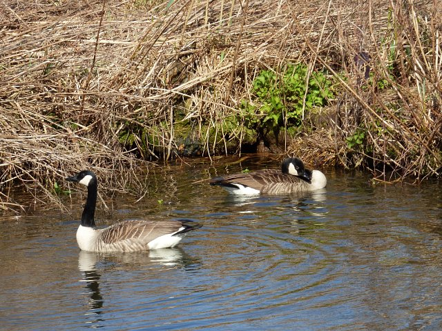 two canada geese on water next to river bank