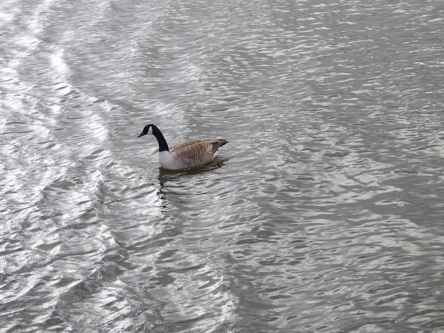 canada goose on the water