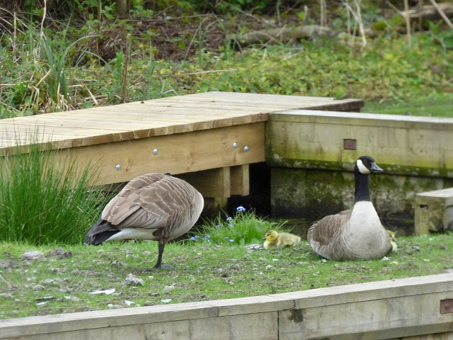 two canada geese one sitting one standing on one leg grooming
