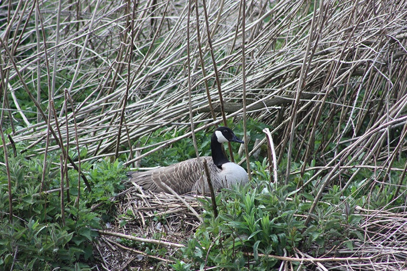 canada goose sitting on nest of dry reeds on riverbank