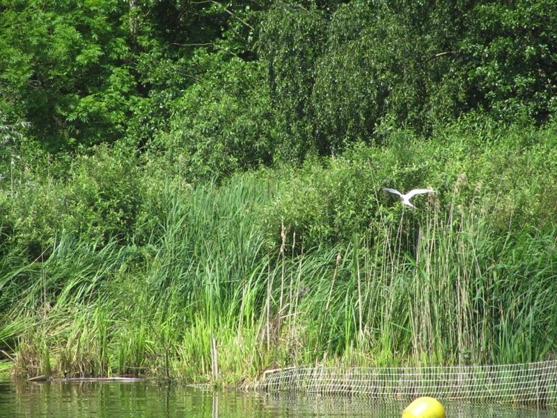 bittern flying over reeds on river bank
