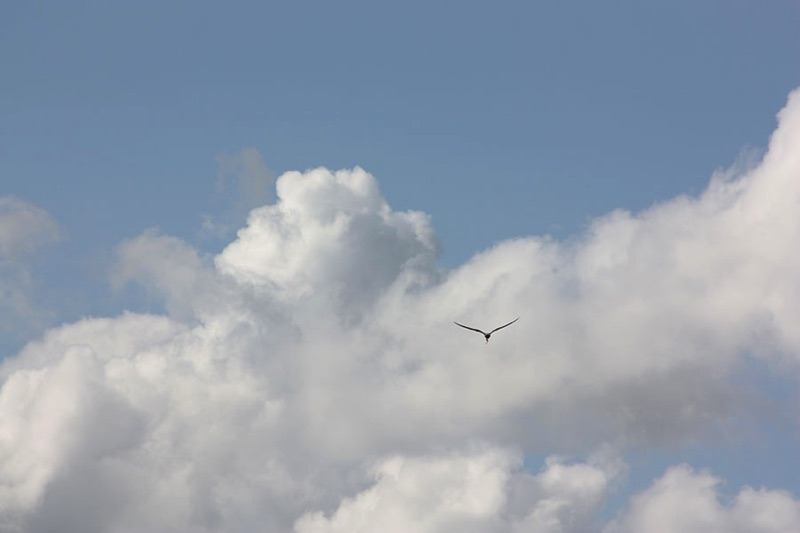 common tern in flight with clouds and sky in background