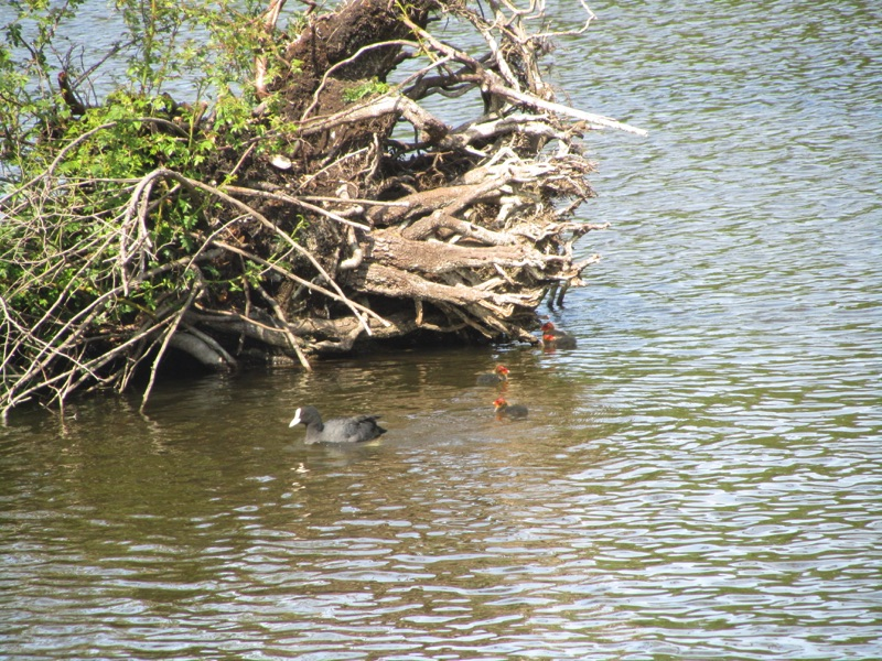 coot swimming next to nest with 3 babies with bright red head swimming behind