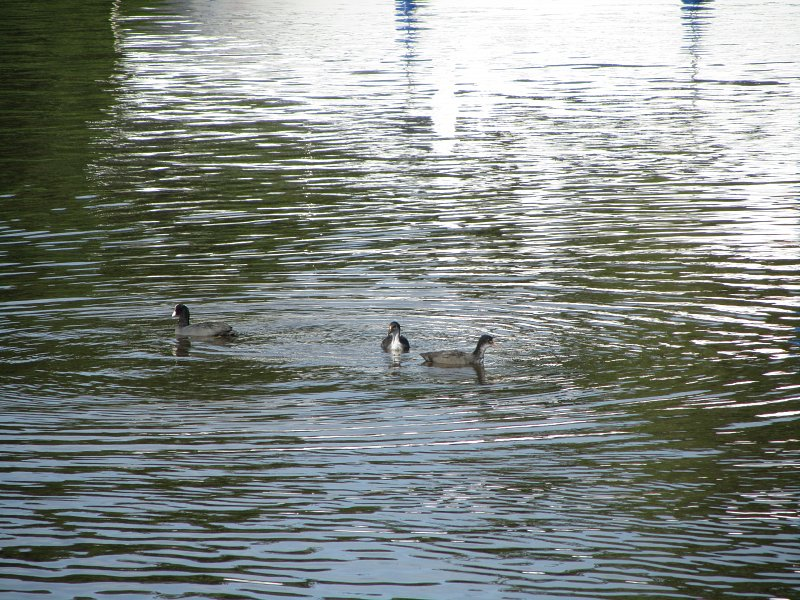 three coots on the water