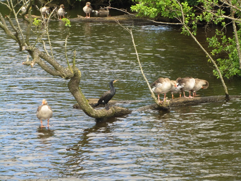 greylag geese and cormorant standing on a partially submerged branch