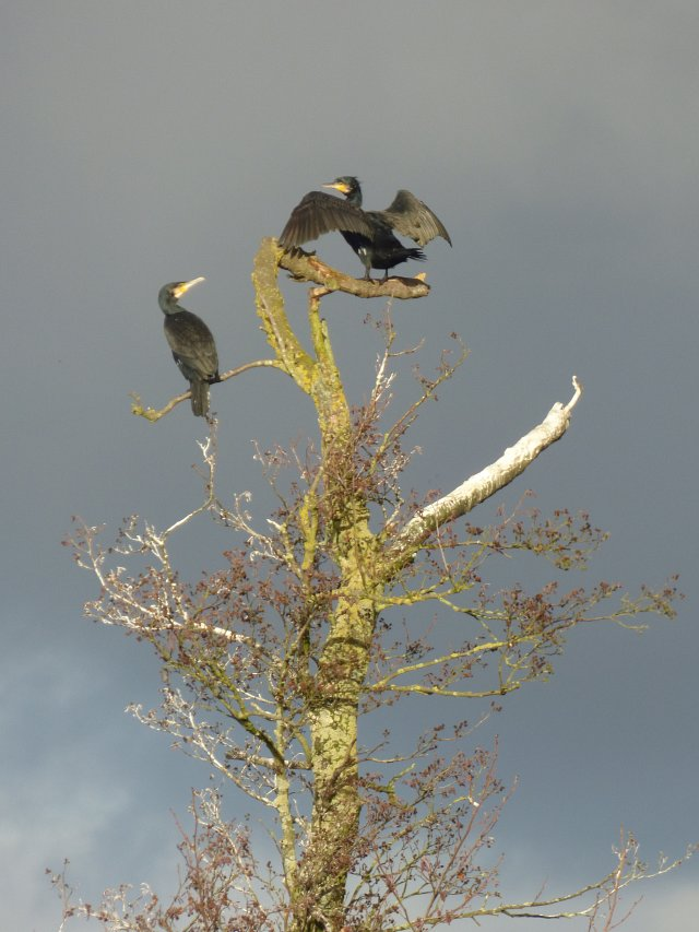close up of two comorants in a tree with dark grey sky behind