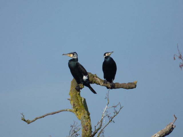 two comorants perched on a bare branch