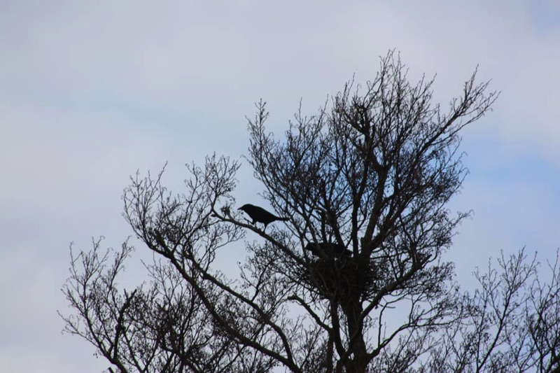 two crows in a tree with a silhouette of a nest