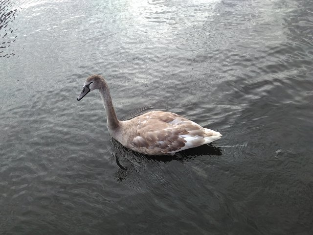 cygnet with white feather visible below grey plumage