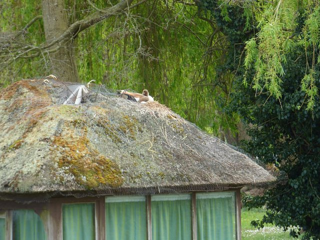 egyptian goose nesting on thatched roof