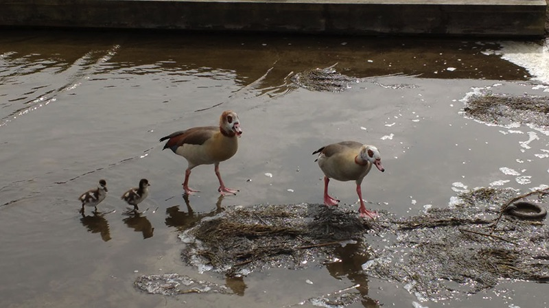 two egyptian geese paddling in shallow water with two goslings