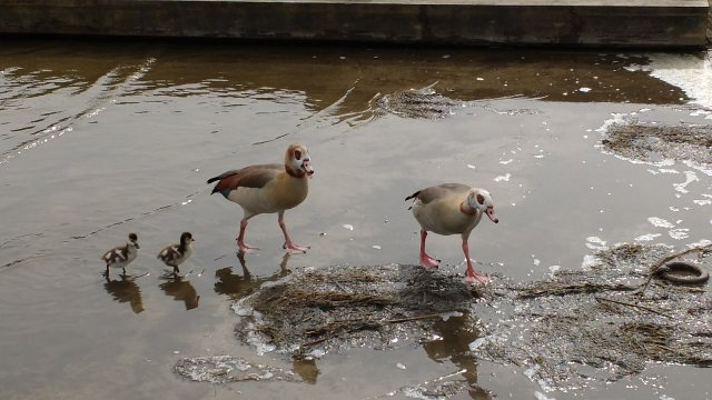 two adult egyptian geese paddling with two goslings
