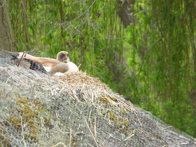 close up of egyptian goose nesting on thatched roof