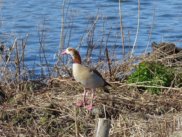egyptian goose on dry nest on river bank