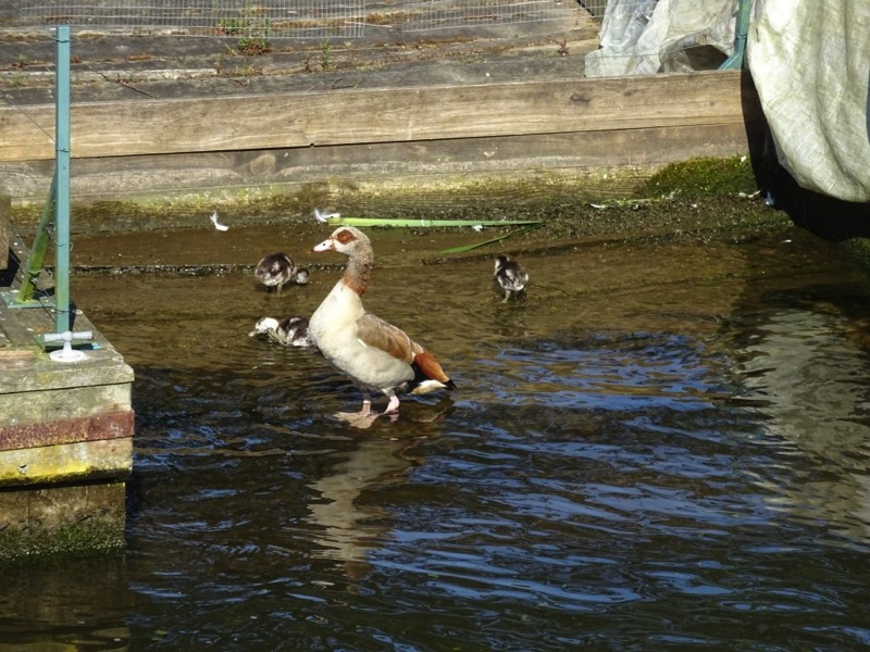 egyptian goose in shallow water next to bank with 3 goslings