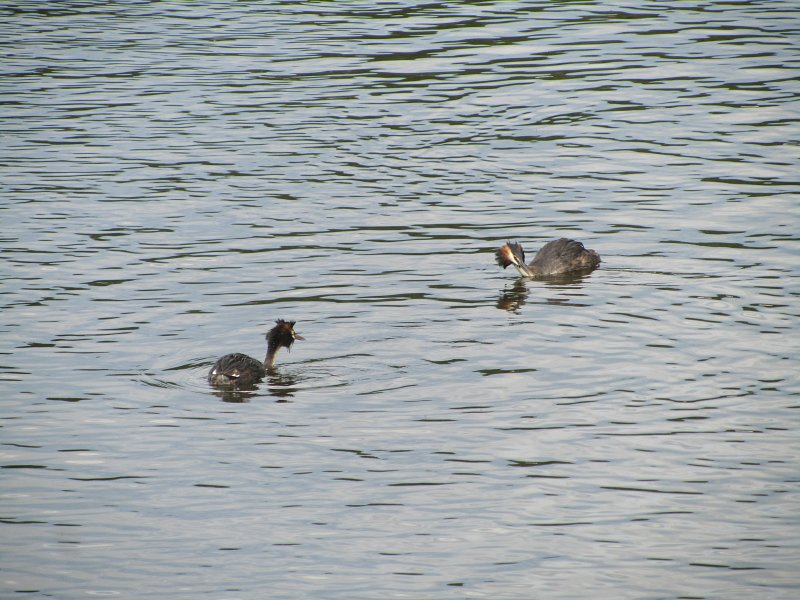 two great crested grebes swimming towards each other
