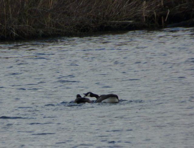 two canada geese on water one reaching over to the other with its mouth open