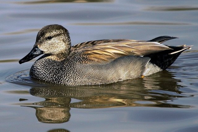 close up of gadwall duck profile