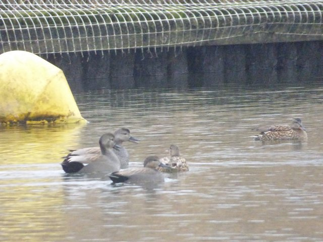 gadwall ducks on the water by the bank