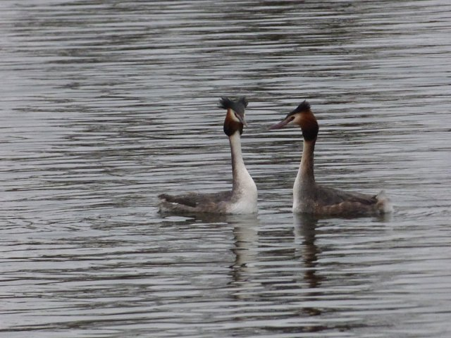 two great crested grebes facing each other on the water