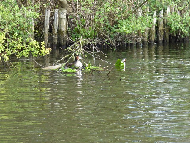 great crested grebe on floating nest