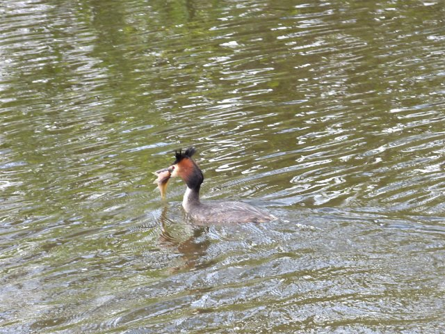 great crested grebe on water with fish in its mouth