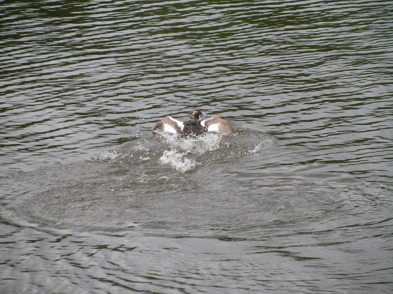 two great crested grebes fighting in the water