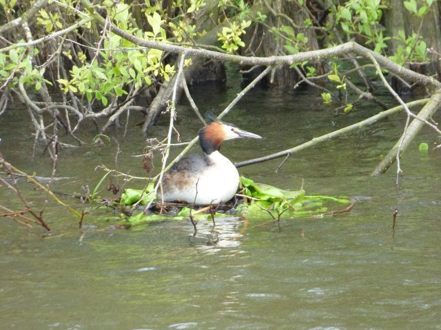 grebe on a floating nest