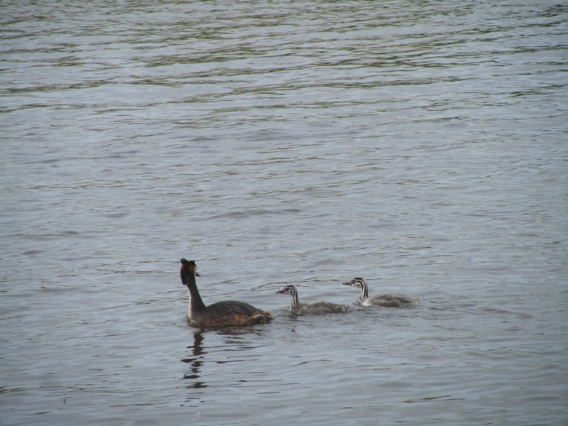 grebe with two greblets following behind