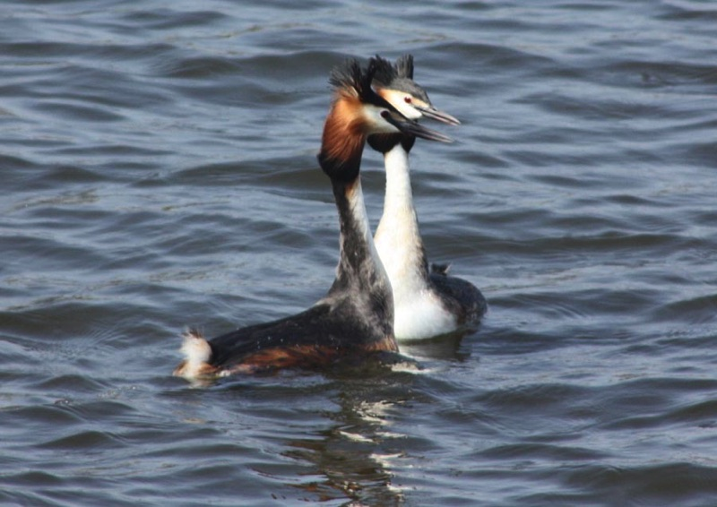 two great crested grebes swimming next to each other