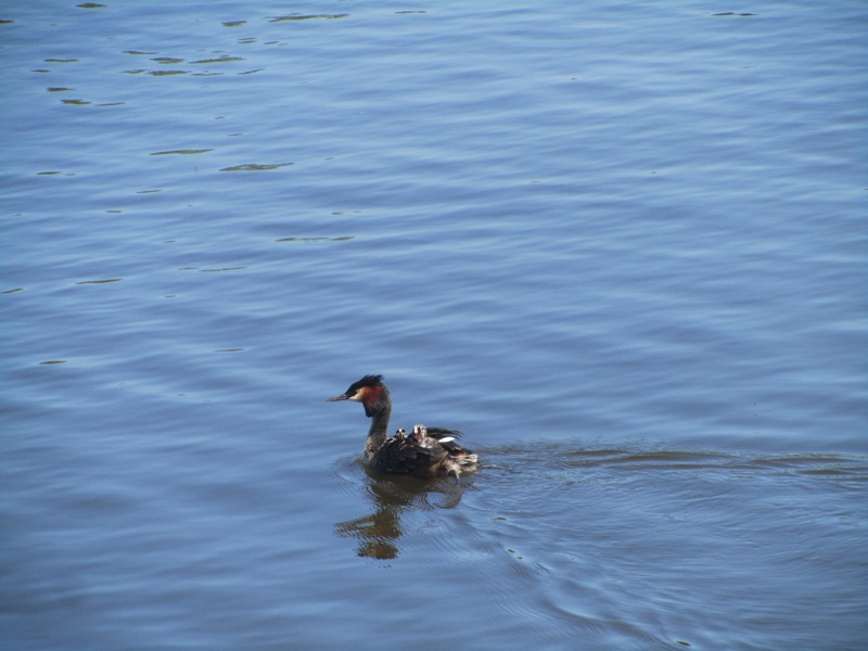 grebe on the water with grebelets on back
