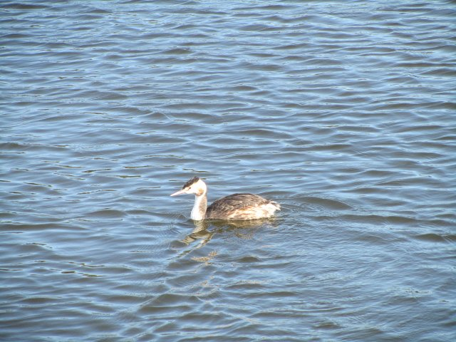 great crested grebe on the water profile view