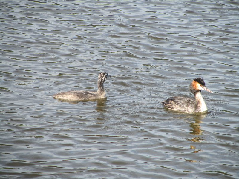 great crested grebe on the water with one grebelet