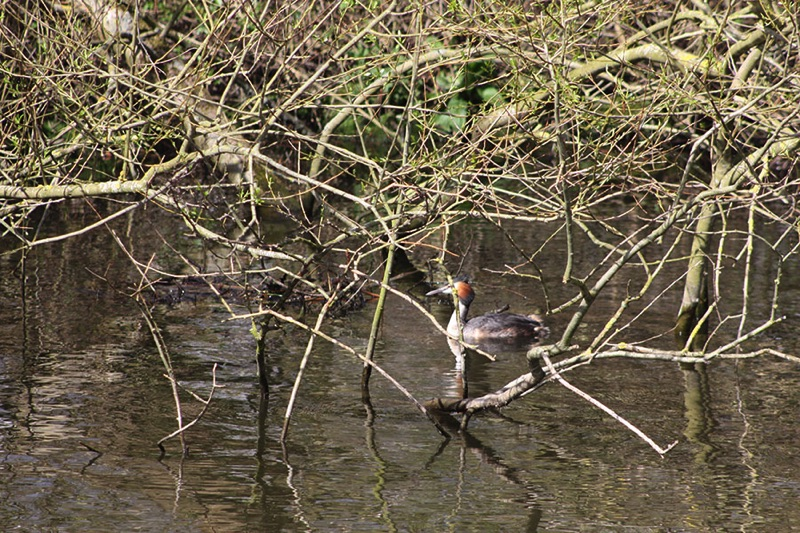 great crested grebe on the water close to a tangled of branches
