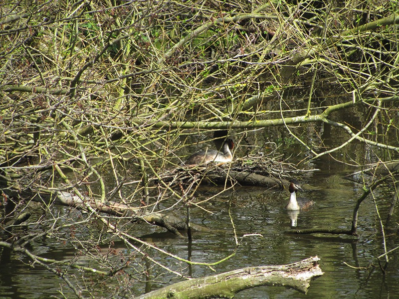 two grebes one on a dry nest on the river one swimming next to the nest