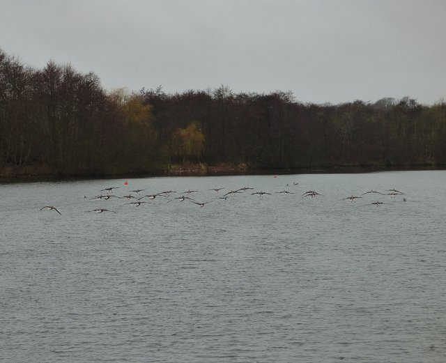 multiple greylag geese flying above water