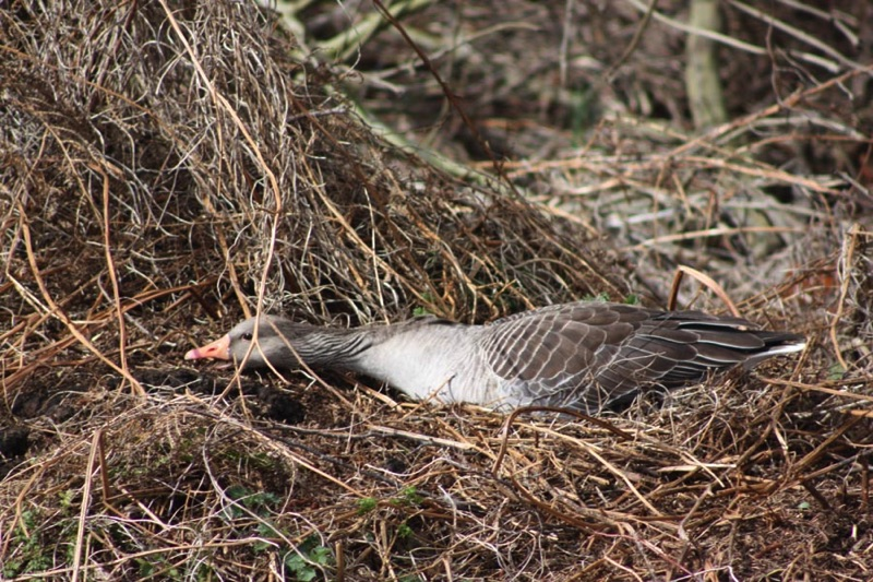 greylag goose on dry nest stretching neck forward