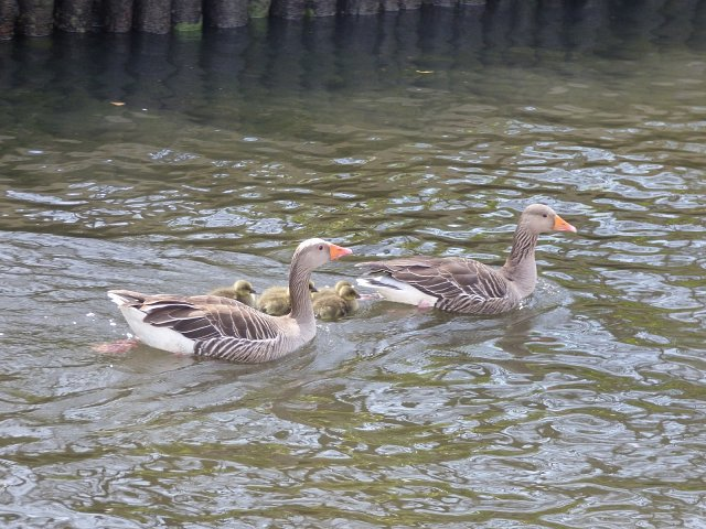 two grelag geese flanking goslings next to river bank