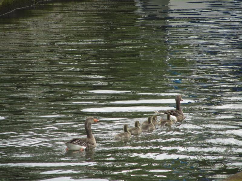 two greylag geese with 5 goslings swimming between them in a line
