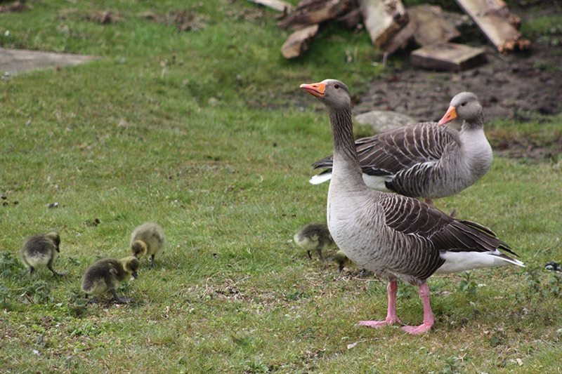 two greylag geese with 5 goslings standing on grass