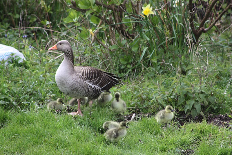 greylag goose with 7 goslings stood on grass