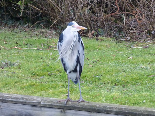 grey heron standing on river bank facing camera