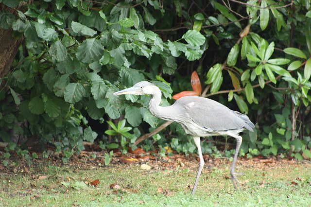 juvenile heron walking along river bank