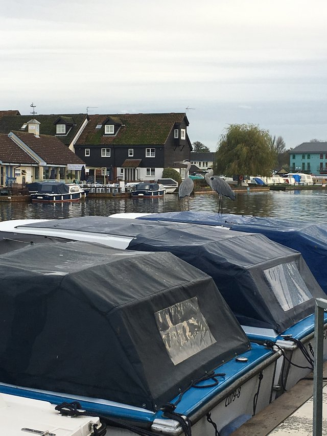 two herons stand on top of a day cruiser in Wroxham